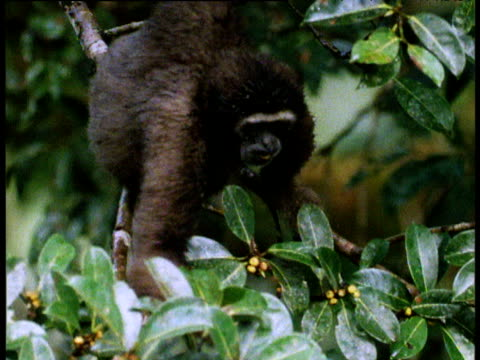 hoolock gibbon eats tropical figs in tree, borneo - tropical tree stock videos & royalty-free footage
