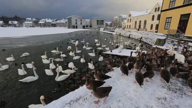 Hooper swans and Geese, Tjornin lake, Reykjavik, Iceland,