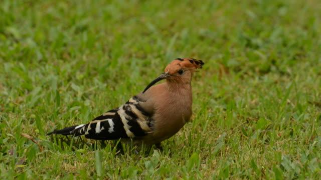 ヤツガシラ鳥 - ユーラシアエスニシティ点の映像素材/bロール