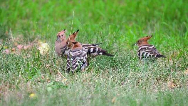hoopoe feeds juvenile birds on the lawn - tierfarbe stock-videos und b-roll-filmmaterial