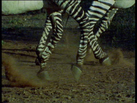 hooves and legs of zebra as it turns and flees, dust flies, masai mara - シマウマ点の映像素材/bロール