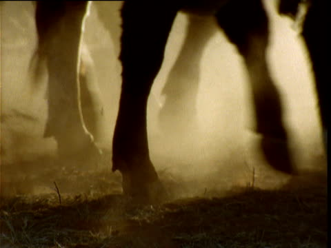 Hooves of cattle walk past on dusty ranch in outback, Alice Springs, Australia