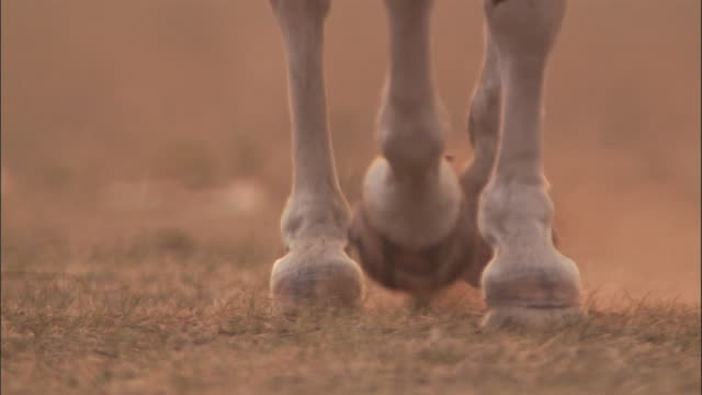 Hooves of horse trotting on dusty steppe, Mongolian steppe