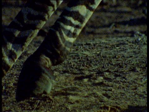 hooves of zebra as it turns and flees, dust flies, masai mara - huf stock-videos und b-roll-filmmaterial
