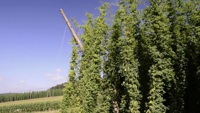 vídeos de stock, filmes e b-roll de ms hop cones creeper in hop garden / mainburg, bavaria, germany - trepadeira