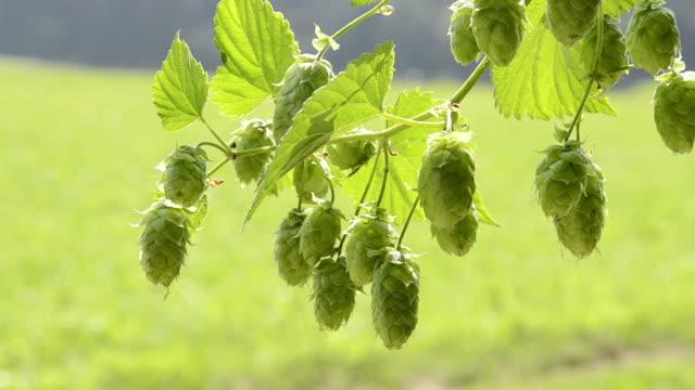 ms hop cones in hop garden / mainburg, bavaria, germany - hops crop stock videos and b-roll footage
