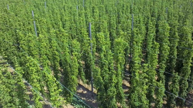 hop field in summer aerial flyover shot - hops crop stock videos and b-roll footage
