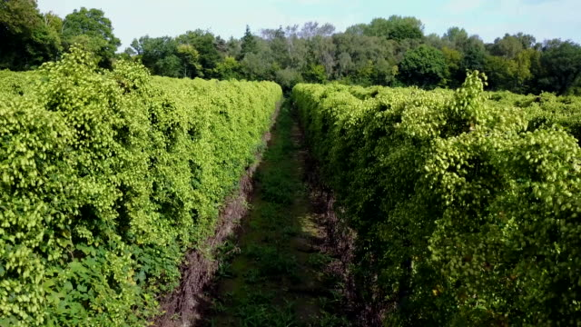 stockvideo's en b-roll-footage met hop fields of kent, uk. - kent engeland