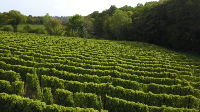 hop fields of kent, uk. - kent england stock videos & royalty-free footage