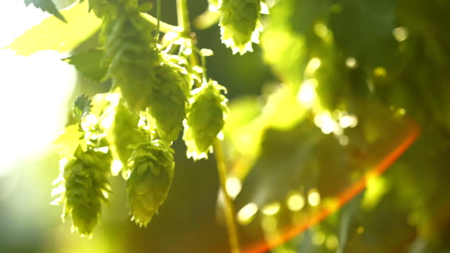 vídeos y material grabado en eventos de stock de hop flores en la luz del sol primer plano (4 k uhd a/hd) - grano planta