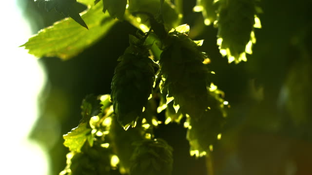 hop flowers in the sunlight close-up (4k/uhd to hd) - hops crop stock videos and b-roll footage