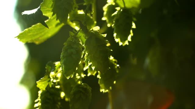 Hop Flowers In The Sunlight Rack Focus (4K/UHD to HD)