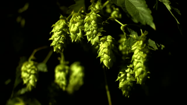 hop flowers in the sunlight (4k/uhd to hd) - hops crop stock videos and b-roll footage