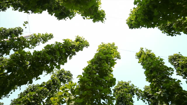 hd hop garden against sky (panning) - hops crop stock videos and b-roll footage