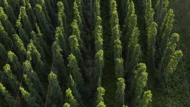 hop garden before harvesting - plantation stock videos & royalty-free footage