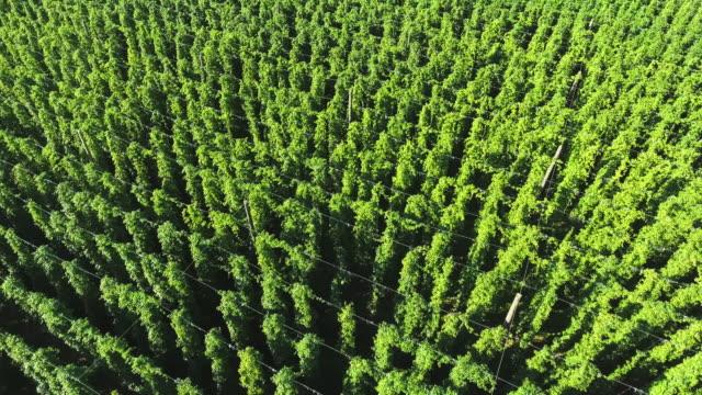 hop garden in summer flyover - hops crop stock videos and b-roll footage