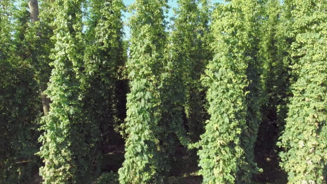 hop garden in summer mid-air side view - hops crop stock videos and b-roll footage