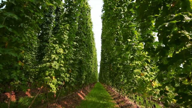 hd hop garden tilt up - hops crop stock videos and b-roll footage