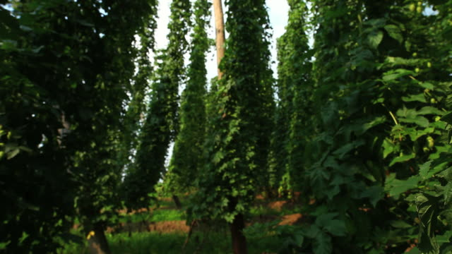 hop garden tracking shot - hops crop stock videos and b-roll footage