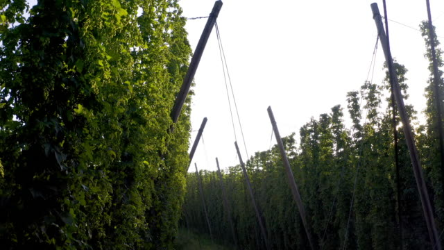 hop garden with mature hops in late summer - pole stock videos & royalty-free footage