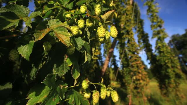 CRANE Hop jardin avec gros plan de pommes mûres