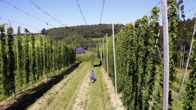 stockvideo's en b-roll-footage met hop harvest in late summer - boomgaard