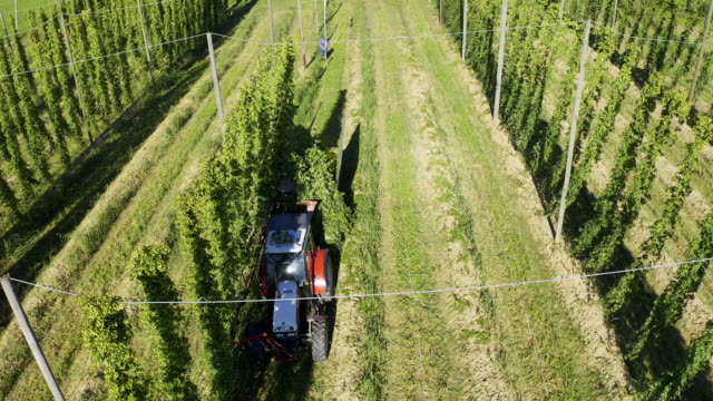 hop harvest in late summer - farm worker stock videos & royalty-free footage