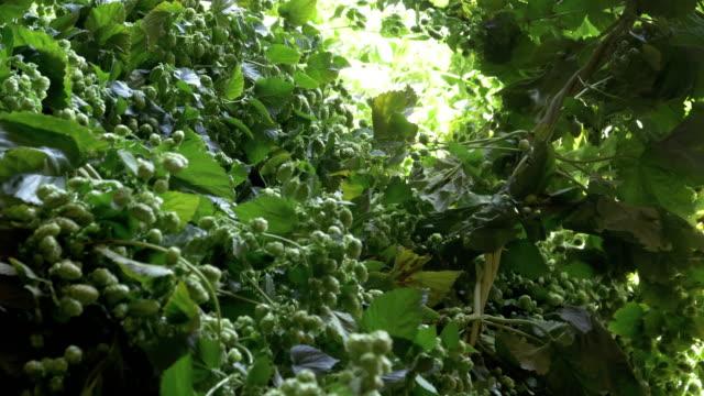 hopfenpflanzen werden auf hopfenpflückermaschine geladen - laufband stock-videos und b-roll-filmmaterial