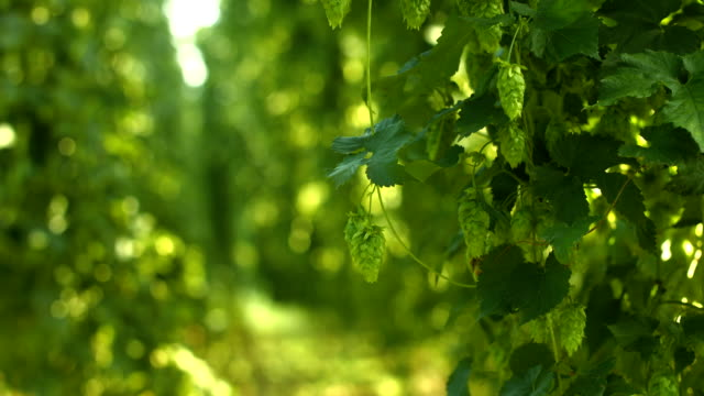 hop yard in the sunlight rack focus (4k/uhd to hd) - hops crop stock videos and b-roll footage