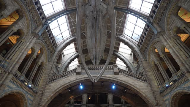 hope, the skeleton of a blue whale diving at natural history museum on may 13, 2021 in london, england. - cetacea stock videos & royalty-free footage