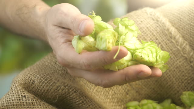 hops cones in hand in 4k slow motion - cereal plant stock videos & royalty-free footage