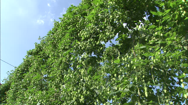 hops dry in a rack. - drying rack stock videos and b-roll footage