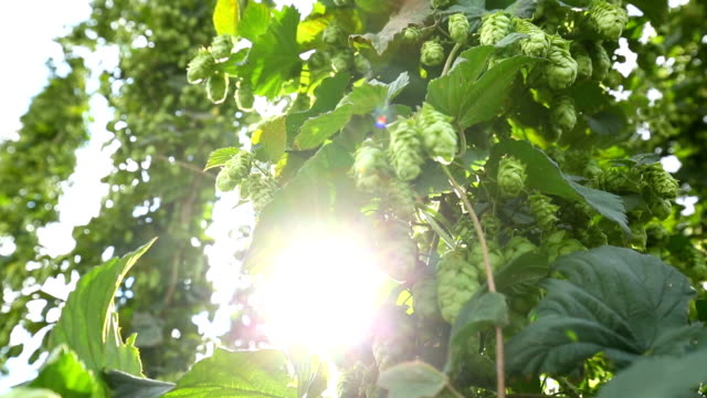hops field with sunlight - hops crop stock videos and b-roll footage