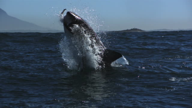 horizontal great white shark breach - seals stock videos and b-roll footage