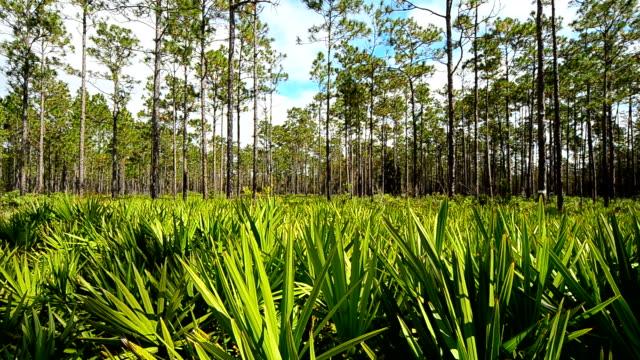 Horizontal Schwenken Aufnahme von Kiefernwäldern mit Fiederzwergpalmen understory