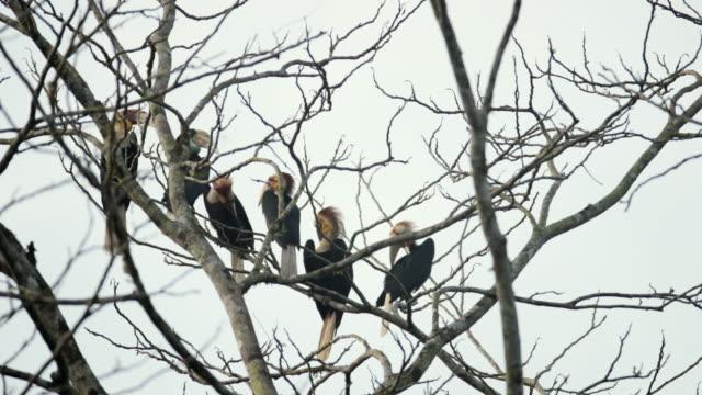 hornbill vogel: eine herde von plain pouched hornbill (rhyticeros subruficollis) - bare tree stock-videos und b-roll-filmmaterial
