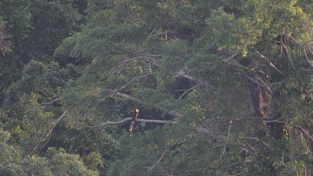 hornbill bird : adult male helmeted hornbill (rhinoplax vigil) - perching stock videos & royalty-free footage