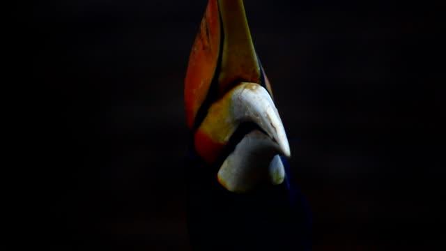 サイチョウ鳥のブランチ。 - ボルネオ島点の映像素材/bロール
