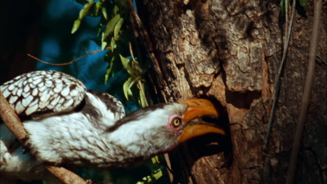 Hornbill feeds his young