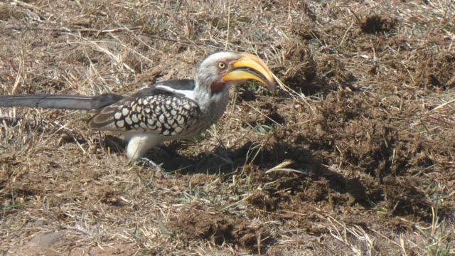 nashornvogel - maul stock-videos und b-roll-filmmaterial