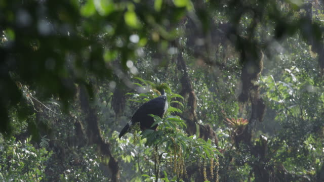 A Horned guan (Oreophasis derbianus) calls out from the top of a tree in the El Triunfo biosphere reserve.