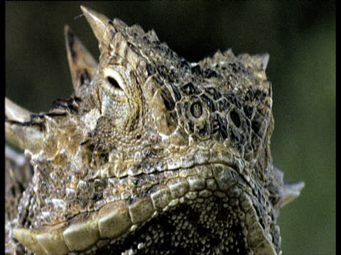 stockvideo's en b-roll-footage met horned lizard squirts blood from its eyes to scare off inquisitive dog - bloed