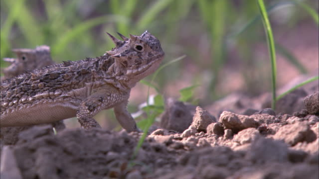 ts horned lizards eating ants / sonoran desert, arizona, united states - sonoran desert stock videos & royalty-free footage