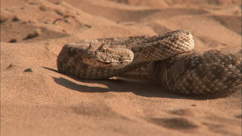 cu horned viper curled up on sand/ namibia - viper stock videos & royalty-free footage