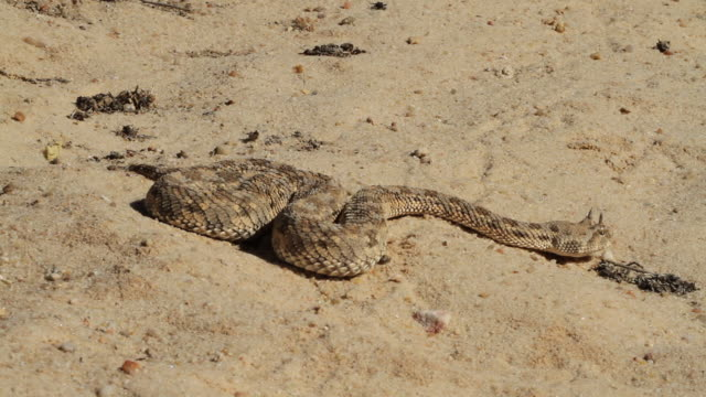 stockvideo's en b-roll-footage met horned viper (cerastes cerastes)- smelling and crawling in the sand - giftige stof