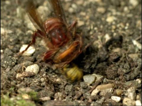 vidéos et rushes de cu hornet (vespa crabro) attacking common wasp (vespula vulgaris), england - vespa