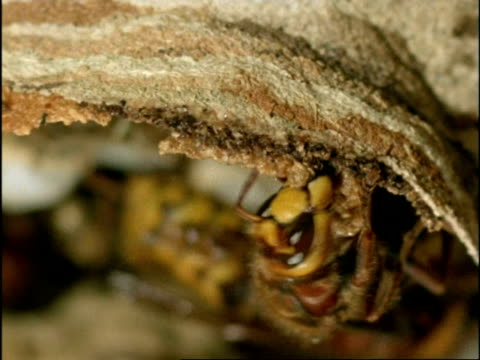 CU Hornet (Vespa crabro) building nest with wood pulp, England