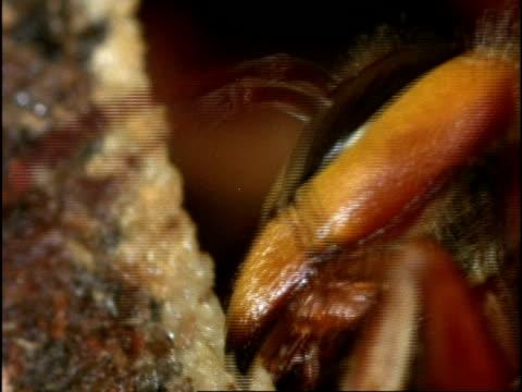 vidéos et rushes de bcu hornet (vespa crabro) building nest with wood pulp, england - vespa