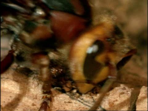 vidéos et rushes de bcu hornet (vespa crabro) collecting wood fibres for nest, england - vespa