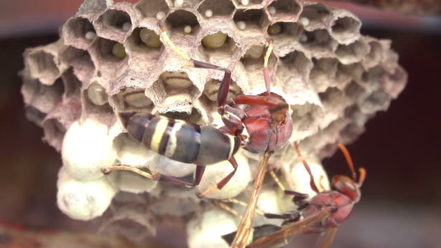 vídeos de stock e filmes b-roll de hornet crawling on a hornet's nest - invertebrado